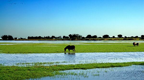 """Chevaux en libertés dans les marais entourant le village de """"El Rocio"""""""