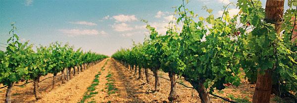 vignoble-de-ronda-andalousie-vin-oenologie